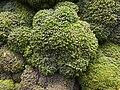 Organic broccali (8078101567).jpg