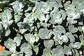Origanum dictamnus pmPfl.jpg
