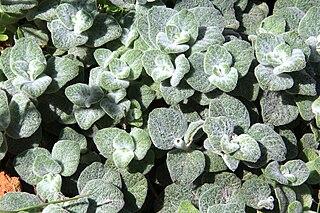 <i>Origanum dictamnus</i> species of plant