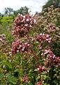 Origanum vulgare kz07.jpg
