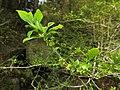 Orixa japonica 1.JPG