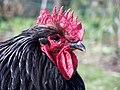 Orpington chicken 1.jpg