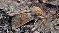 Orthosia miniosa - Blossom underwing - Ранняя совка рыжеватая (47995773007).jpg