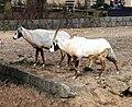 Oryx leucoryx Dvur zoo 4.jpg