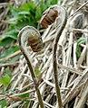 Osmunda japonica.jpg
