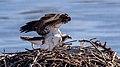 Ospreys Mean Spring - Flickr - Me in ME.jpg