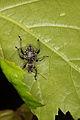 Otiorhynchus weevil from Slovak Paradise (7576542180).jpg