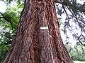 Ottrott Windeck Sequoia.JPG