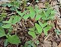 Oxalis latifolia 01.JPG