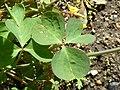 Oxalis valdiviensis 'Chilean Yellow Sorrel' (Oxalidaceae) leaves.JPG