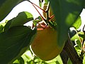 Pêche (Prunus persica).jpg