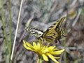P1670370 Ο χορός της πεταλούδας 3.jpg