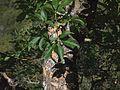 P20140310-0064—Aesculus californica—Old Briones Road (13205129525).jpg