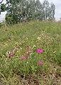 PP Cvičák (u Českého Krumlova) (37) hvozdík kropenatý Dianthus deltoides.jpg