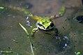 Pacific Tree Frog by Marcia Grefsrud 2814 (16922073816).jpg