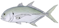 Pacific crevalle jack.png