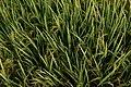 Paddy crop near Malkapuram, Eluru.jpg