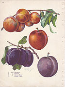 Page 12 plum - Abundance, Burbank, German Prune, October Purple.jpg