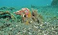 Painted Frogfish (Antennarius pictus) (6064652661).jpg