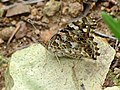 Painted Lady (36855151030).jpg