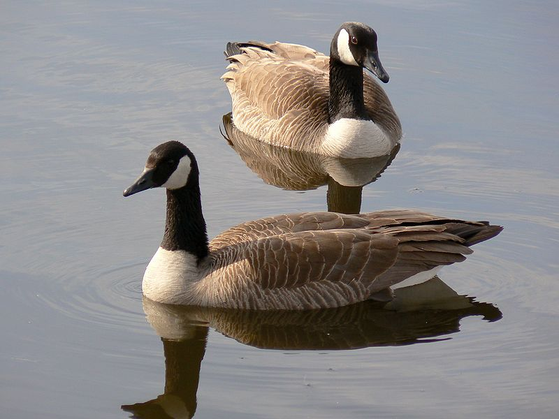File:Pair of Canada Geese.jpg