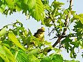 Palm Warbler (4627117872).jpg