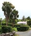 Palm trees, Rossdohan - geograph.org.uk - 457227.jpg