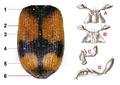 Panagaeus cruxmajor - bodyparts detail.png