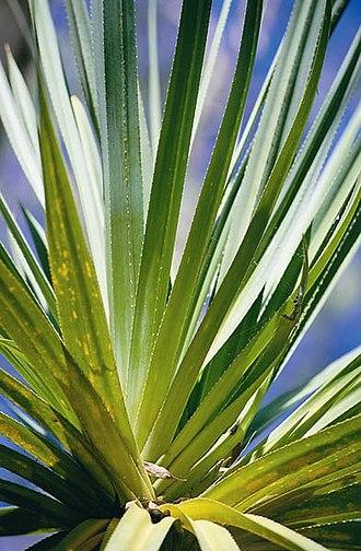 Flora of Kakadu National Park - Pandanus spec. Kakadu National Park