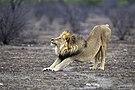 Panthera leo stretching (Etosha, 2012).jpg