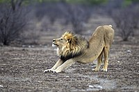 Law (Panthera leo)