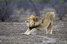 a491d26e501fc Um leão macho se espreguiçando