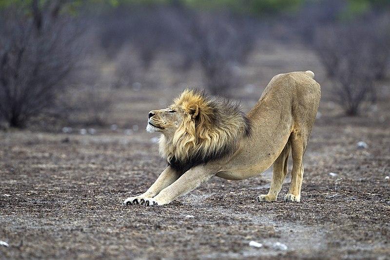 File:Panthera leo stretching (Etosha, 2012).jpg