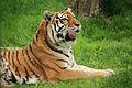 Panthera tigris at the Bronx Zoo 011.jpg