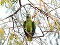 Papagaio no pantanal.JPG