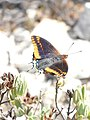 Papallona de l'arboç (Charaxes jasius) al Puig Francàs P1250457.jpg