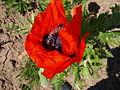 Papaver 2 (Poltava Botanical garden).jpg