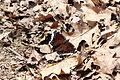 Papillon Morio au domaine naturel du lac Gale.JPG