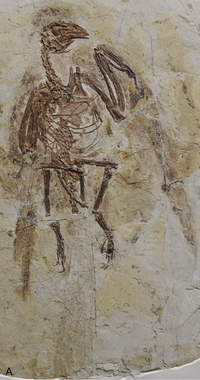 Parapengornis holotype.png