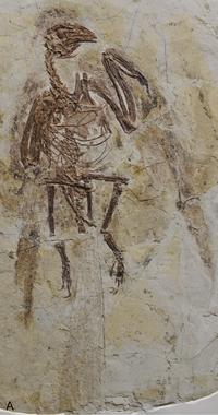 Parapengornis holotype