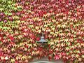 Parthenocissus tricuspidata, Boston ivy, in autumn colours.JPG
