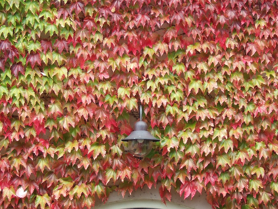 Parthenocissus tricuspidata, Boston ivy, in autumn colours