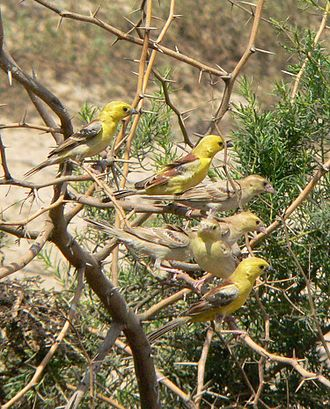 Passer - A flock of Sudan golden sparrows near the Red Sea in Sudan