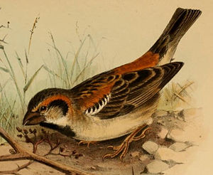 Shelley's sparrow - A detail of an illustration by Henrik Grönvold, showing a Shelley's sparrow