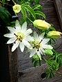 Passiflora Constance Elliot.jpg