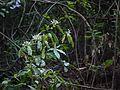Pavetta ¿ species ? (7232018288).jpg
