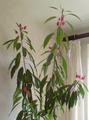 Pavonia × gledhillii indoor plant 2014.png