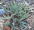 Pedicularis semibarbata ssp charlestonensis 1.jpg