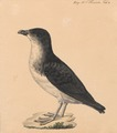 Pelecanoides berardi - 1700-1880 - Print - Iconographia Zoologica - Special Collections University of Amsterdam - UBA01 IZ17900005 (cropped).tif