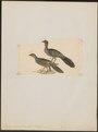 Penelope superciliaris - 1820-1860 - Print - Iconographia Zoologica - Special Collections University of Amsterdam - UBA01 IZ16900127.tif
